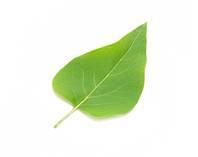 soft_leaf